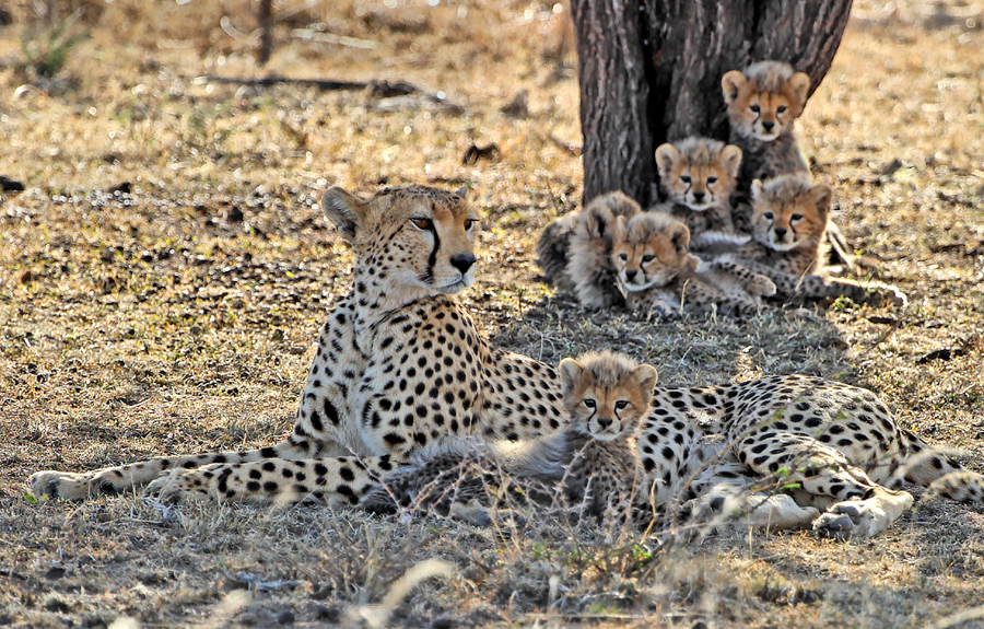African Cheetah Facts For Kids
