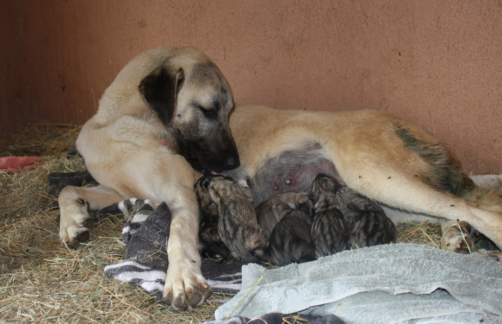 Kangal Dog For Sale Philippines